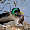 A male Mallard Duck resting at the edge of a lake