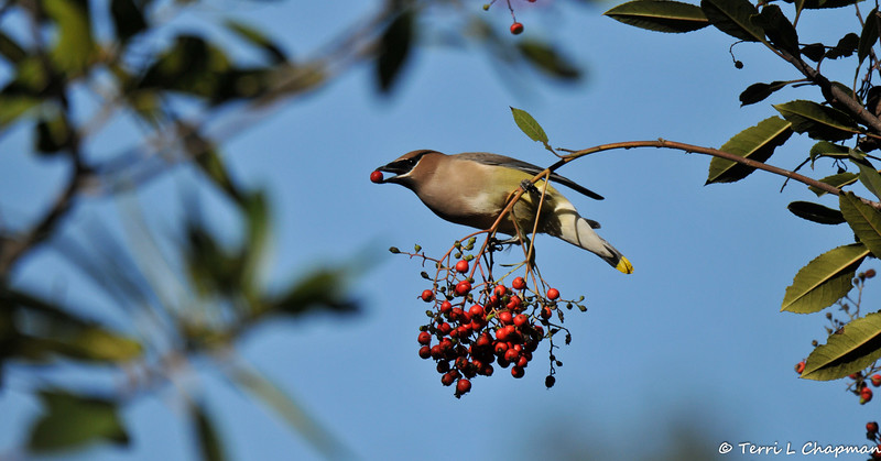 A Cedar Waxwing with a berry in its beak