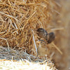 A female House Sparrow nibbling on straw at a horse barn