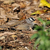 A White-crowned Sparrow laying on the ground to warm its feathers in the morning sun.
