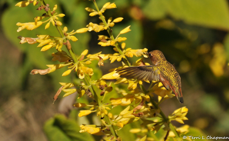 An Allen's Hummingbird sipping nectar from a flower