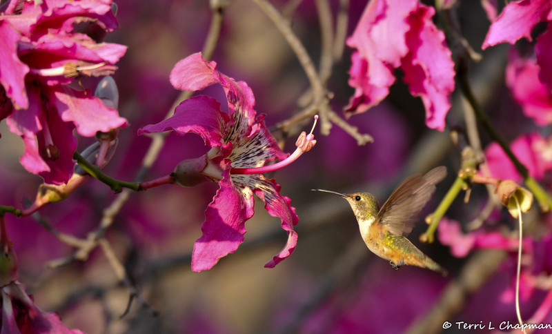 A male Allen's Hummingbird preparing to sip nectar from a Floss Silk bloom