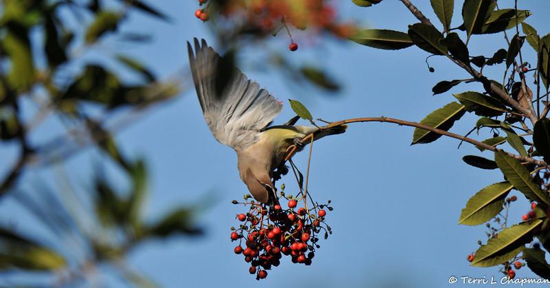 A Cedar Waxwing grabbing a berry