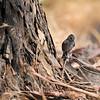 An Oak Titmouse