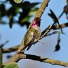 A male Anna'sHummingbird