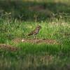 A Lark Sparrow