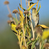 Three Lesser Goldfinches - two males and a female