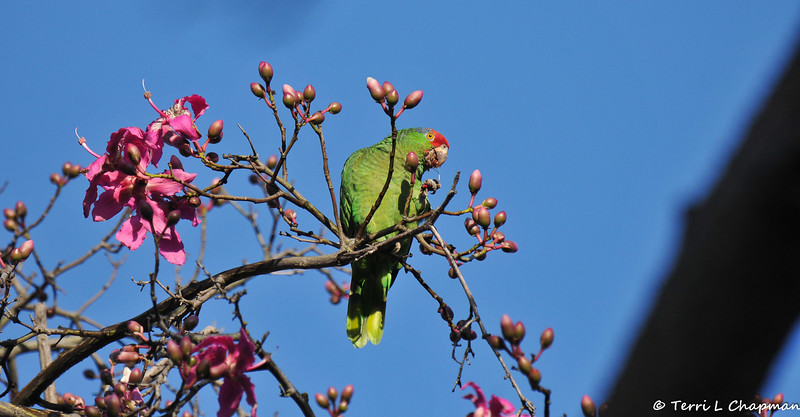 A wild Red-crowned Parrot eating the flowers of the Floss Silk tree