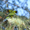 Two wild Black-hooded Parakeets