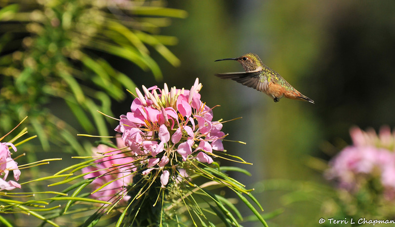 A female Allen's Hummingbird preparing to sip nectar  from a Spider Flower