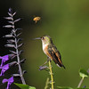 A female Allen's Hummingbird perched on the stem of a Salvia plant with a Honey Bee in the background