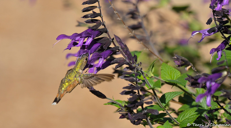 A female Allen's Hummingbird sipping nectar from a Salvia plant