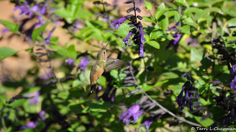 A female Allen's Hummingbird preparing to sip nectar from Salvia flowers