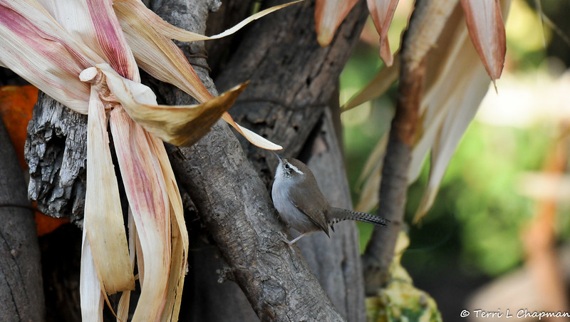 A Bewick's Wren searching for insects