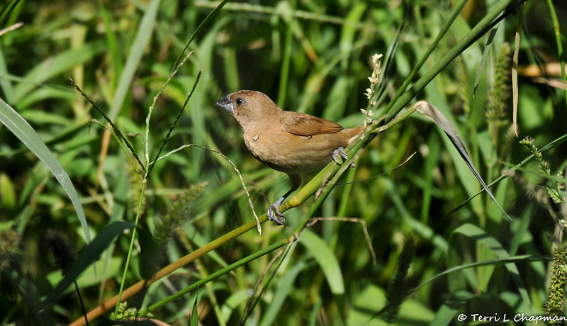A female Nutmeg Mannikin. The Nutmeg Mannikin is also known as the Scaly-breasted Munia or Spice Finch.  This sparrow-sized estrildid finch is native to tropical Asia, but has been introduced into many other parts of the world and feral populations have established in Puerto Rico as well as parts of Australia and the United States.