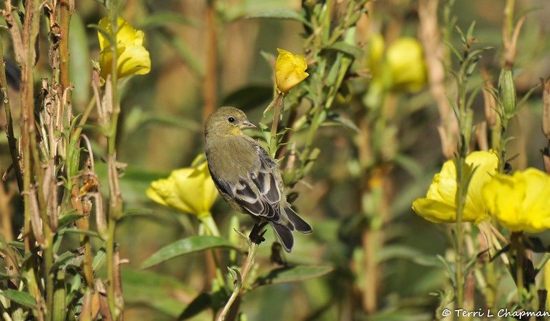 A female Lesser Goldfinch with Hooker's Evening Primrose