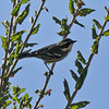 A male Black-throated Gray Warbler