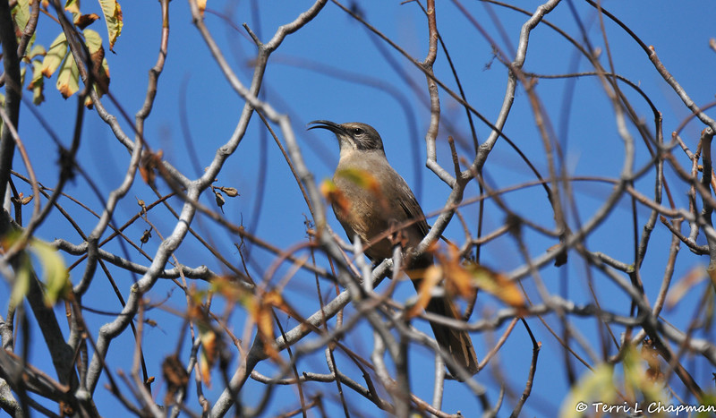 A California Thrasher - a songbird only found in California
