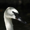 A close up image of a male Trumpeter Swan. One of seven swan species, the trumpeter is the world's largest waterfowl with a wingspan of roughly 6.5 feet and a weight of up to 25 pounds. It flies with extraordinary power, but due to its weight, is unable to launch directly from the water. The swan must paddle along the surface about 18 feet before taking off.