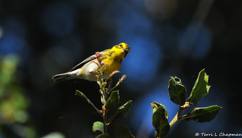 A female Townsend's Warbler