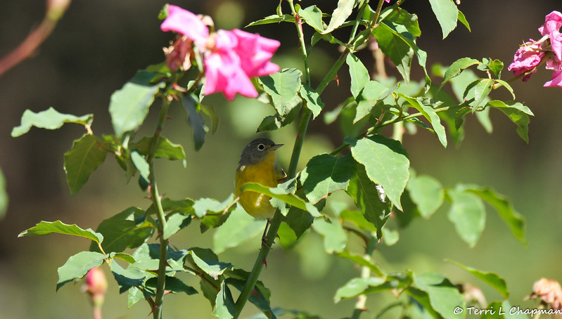 A female MacGillivray's Warbler searching for insects on a rose bush