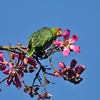 A wild Red-crowned Parrot eating a flower bud from the Floss Silk tree