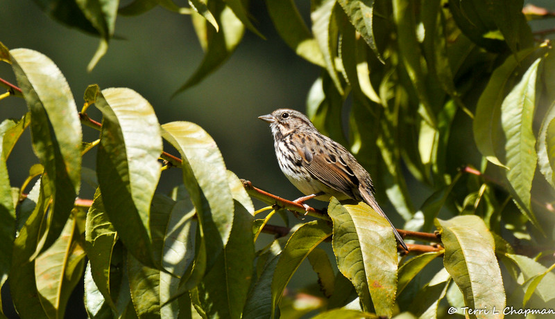 A Song Sparrow perched on the stem of an Apple tree