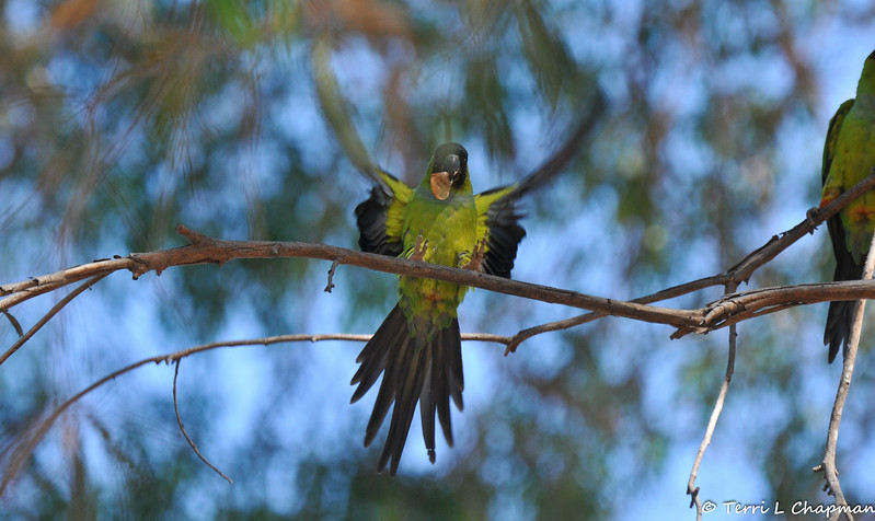 A wild Black-hooded Parakeet