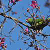 A wild Red-crowned Parrot in a Floss Silk tree