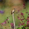 A female Allen's Hummingbird perched on a garden stake