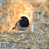 A Dark-eyed Junco perched on a bale of hay