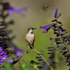 A male Allen's Hummingbird perched on the stem of a Salvia plant with a Honey Bee in the background
