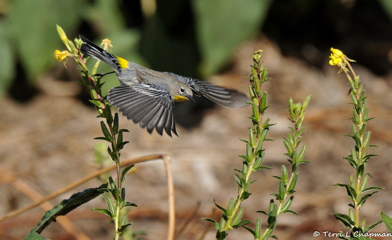 A male Yellow-rumped Warbler is flight