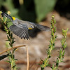A male Yellow-rumped Warbler is flight