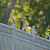 A juvenile Cooper's Hawk perched on a bridge fence. This hawk promptly flew away after I pulled my car to the side of the bridge and took its picture.