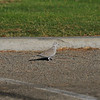 A Eurasian Collared Dove walking in a parking lot in Valyermo, California. This chunky relative of the Mourning Dove gets its name from the black half-collar at the nape of the neck. A few Eurasian Collared-Doves were introduced to the Bahamas in the 1970s. They made their way to Florida by the 1980s and then rapidly colonized most of North America.