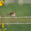 A Savannah Sparrow perched on a barbed wire fence