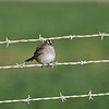 A White-crowned Sparrow perched on a barbed wire fence