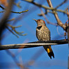 A female Yellow-shafted Northern Flicker photographed in my backyard on December 11, 2018.  Because the Yellow-shafted Flicker lives in the East and North, and I live in the West, this bird is considered a rare bird for my area.  In the nine years I have been photographing birds, this was the first time I had seen a Yellow-shafted Northern Flicker, so I was very happy!