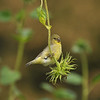 A female Lesser Goldfinch eating the seeds from a sunflower
