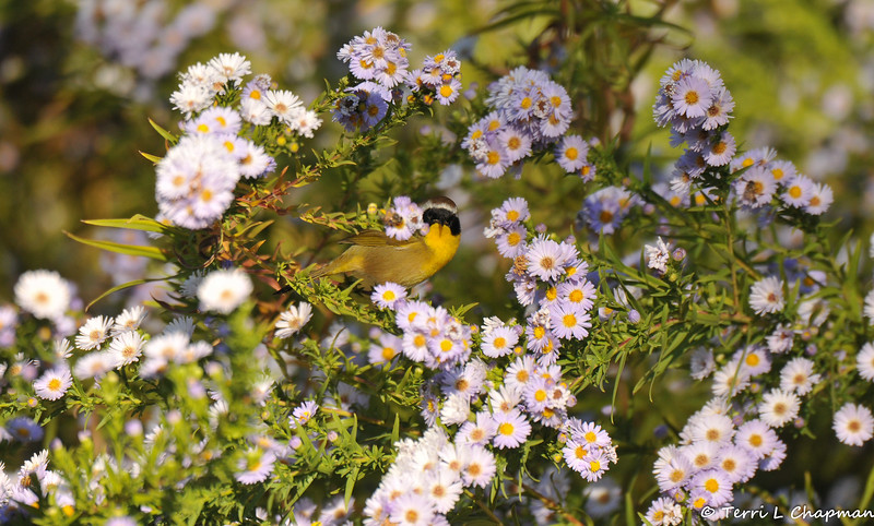 A male Common Yellowthroat looking for insects among the flowers