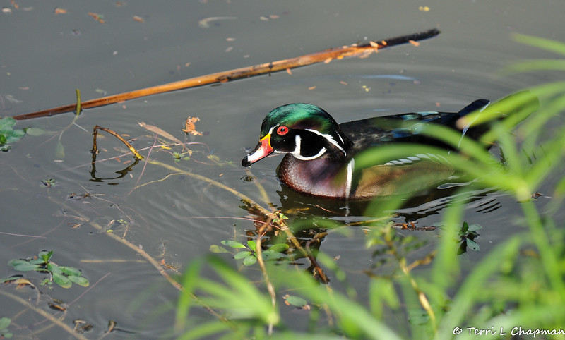 A male Wood Duck swimming in a pond. <br /> <br /> The Wood Duck is one of the most stunningly pretty of all waterfowl. Males are iridescent chestnut and green, with ornate patterns on nearly every feather; the elegant females have a distinctive profile and delicate white pattern around the eye. These birds live in wooded swamps, where they nest in holes in trees or in nest boxes put up around lake margins. They are one of the few duck species equipped with strong claws that can grip bark and perch on branches.<br /> <br /> When swimming, the head jerks back and forth much as a walking pigeon's does. You often see Wood Ducks in small groups (fewer than 20), keeping apart from other waterfowl.