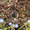 A Dark-eyed Junco (Oregon) foraging for food