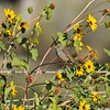 A juvenile White-crowned Sparrow perched on the stem of a sunflower