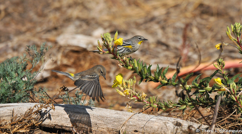 A male and female Yellow-rumped Warbler searching for insects among the flowers