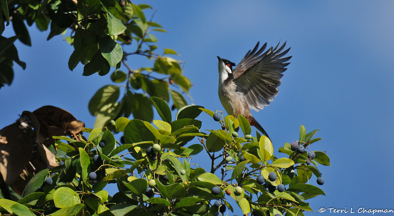 A Red-whiskered Bulbul taking flight from a Chinese Fringe tree. This bird had been eating the berries off of the tree. <br /> <br /> Red-whiskered Bulbuls are native from India and southeast China to northern Malaya. They are a popular cage bird that has been introduced to many regions of the world, including Australia, New Zealand, islands in the Indian and Pacific Oceans, and the United States.<br /> <br /> During the 1960s, populations of Red-whiskered Bulbuls were either deliberately or accidentally released, and became established in Southern Florida and Southern California. The species has thrived in these states that are rich with fruiting trees.