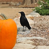 An American Crow standing by an Autumn display
