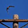 An adult Cooper's Hawk