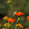A female Allen's Hummingbird perched on the stem of a Mexican Sunflower
