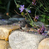 An adult male Dark-eyed Junco (Oregon) surrounded by Verbena bonariensis and bachelor button flowers